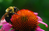 honey bee on Echinacea coneflower flower