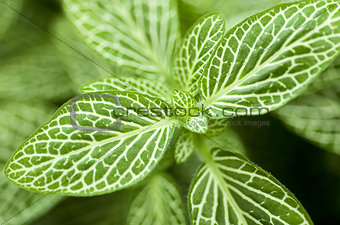 Green Nerve Plant Leaves