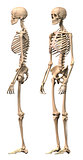Male Human skeleton, two views, side and perspective.