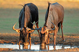 Blue wildebeest drinking