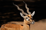 Indian blackbuck