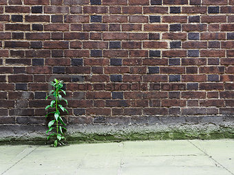 Brick wall and plant growing