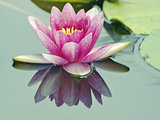 big lotus flower