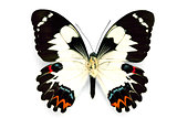 Butterfly series - Rare Beautiful Butterfly