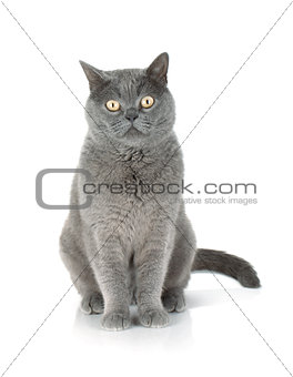 Sitting grey cat