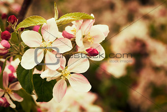 Blossom apples garden in the Spring