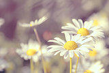 daisy flowering pastel colors
