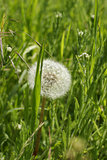 white dandelion on a green
