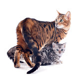 bengal family
