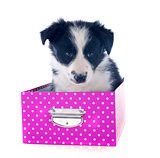 puppy border collie in a box