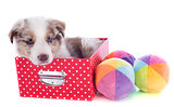 puppy border collie in box