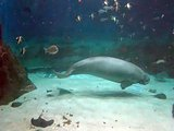 Manatee and fish swimming under water