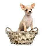 Chihuahua puppy standing in a wicker basket, isolated on white