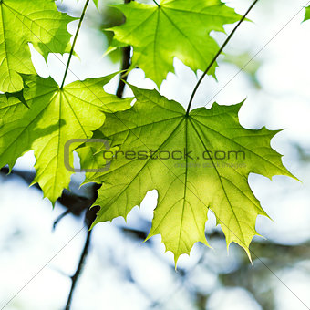 green maple leaf lit by the sun