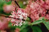 Syringa vulgaris - Lilac flower
