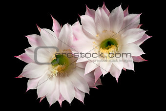 Flowers of the Cactus Echinopsis Oxygona
