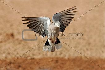 Cape turtle dove in flight