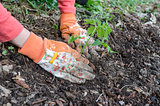 Detail of planting a tomato seedling