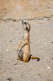 Side view of suricate looking up