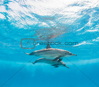 Pair of spinner dolphins underwater