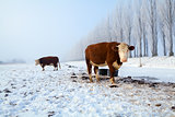 brown cows on snow in winter