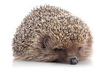 serious adult hedgehog