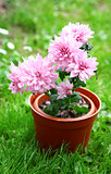 Pink japanese chrysanthemum in pot on green grass