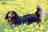 Dachshund on the dandelions meadow
