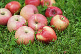 red ripe apples on fresh green grass