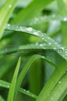clear droplets on green grass of iris