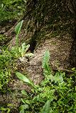 maple tree root