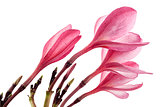 Pink frangipani flower or plumeria isolated on white