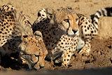 Cheetahs drinking water