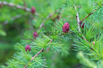 Close-up of fir tree branches with cones and needles