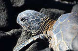 Hawaiian Greenback Sea Turtle
