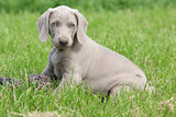 Weimaraner Vorsterhund puppy sitting