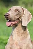 Portrait of Weimaraner Vorsterhund bitch