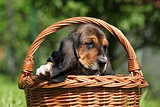 Adorable puppy of basset hound in basket