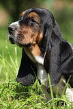 Adorable puppy of basset hound in the grass