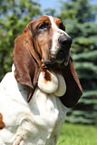 Basset hound in nature