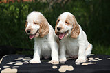 Gorgeous English Cocker Spaniel puppies sitting