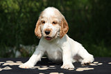 Adorable English Cocker Spaniel puppy sitting