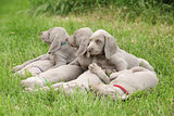 Weimaraner Vorsterhund puppies lying