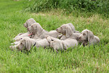 Group of Weimaraner Vorsterhund puppies lying