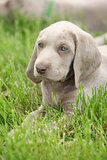Weimaraner Vorsterhund puppy lying in the grass