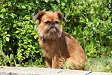 Young Brussels Griffon