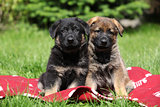 Two german shepherd puppies sitting side by side