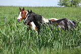 Two paint horses on pasturage behind high grass