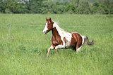 Paint horse stallion running in green grass