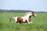 Paint horse stallion running in green grass